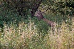Il cervo nobile sta fra le canne alte durante la carreggiata Fotografie Stock Libere da Diritti
