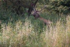 Il cervo nobile sta fra le canne alte durante la carreggiata Immagine Stock Libera da Diritti