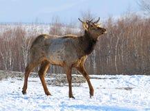 Il cervo nobile va su neve Fotografia Stock Libera da Diritti