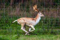 Il cervo sfugge a dal pericolo Fotografia Stock