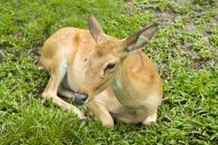 Il cervo si trova su un'erba verde Immagini Stock