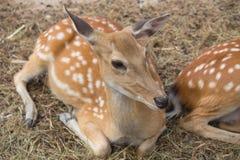 Il cervo Sika abita nei terreni boscosi temperati e subtropicali, che fotografia stock libera da diritti