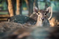 Il cervo sta esaminandovi Immagini Stock