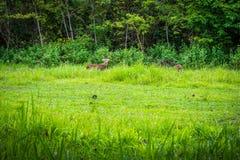 Il cervo sta mangiando l'erba fotografia stock libera da diritti