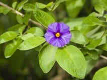 Il cespuglio blu della patata, rantonnetii di Lycianthes, fiorisce la macro, il fuoco selettivo, DOF basso Fotografia Stock