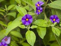 Il cespuglio blu della patata, rantonnetii di Lycianthes, fiorisce la macro, il fuoco selettivo, DOF basso Immagine Stock