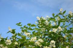 il cespuglio blu fiorisce la sorgente del cielo del lotto Immagine Stock Libera da Diritti