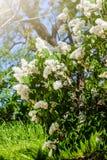 Il cespuglio del lillà bianco Immagine Stock Libera da Diritti