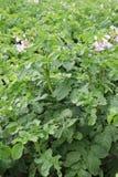 Il cespuglio della patata fiorisce verticale Fotografia Stock Libera da Diritti