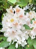 il cespuglio di fioritura di Calophytum del rododendro fotografie stock libere da diritti