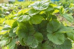 Il cespuglio di fragola si sviluppa in giardino Fotografia Stock Libera da Diritti