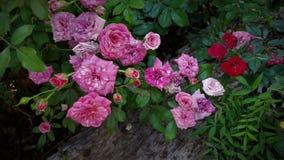 Il cespuglio di rose colorato varietà immagine stock