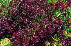 Il cespuglio porpora gradisce la pianta con erba immagine stock