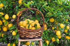 Il cestino dei limoni ha selezionato di recente da un albero Fotografia Stock Libera da Diritti