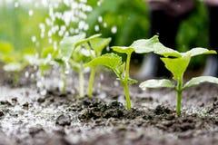 Il cetriolo germoglia nel campo e l'agricoltore sta innaffiandolo Fotografia Stock