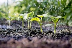 Il cetriolo germoglia nel campo e l'agricoltore sta innaffiandolo Immagine Stock Libera da Diritti