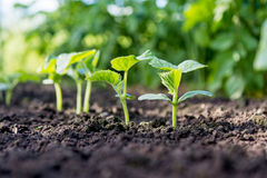 Il cetriolo germoglia nel campo, piantine nel giardino del ` s dell'agricoltore Fotografia Stock