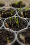 Il cetriolo organico germoglia in terra come fondo fotografie stock