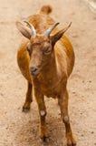 Il chèvre le regard Photos libres de droits