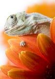 Il Chameleon Fotografie Stock Libere da Diritti