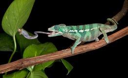 Il Chameleon cattura il grillo Fotografia Stock