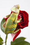 Il Chameleon che si siede su un rosso è aumentato Fotografia Stock Libera da Diritti