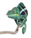 Il Chameleon della pantera curioso è, pardalis di Furcifer Fotografia Stock