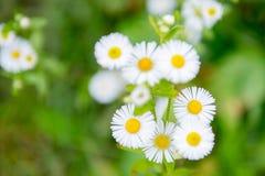 il chamomilla della camomilla fiorisce il vettore di matricaria dell'illustrazione Fotografie Stock