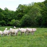 il charolais del bestiame Immagine Stock