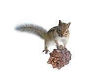 Il chipmunk mangia un seme del cedro Fotografie Stock