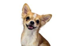 Il chivava del cane su fondo bianco Immagini Stock Libere da Diritti