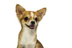 Il chivava del cane su fondo bianco Immagini Stock