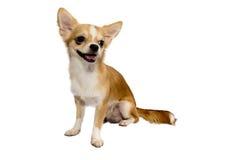 Il chivava del cane su fondo bianco Fotografia Stock Libera da Diritti