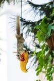 Il cibo grigio dello scoiattolo matura la papaia Fotografie Stock Libere da Diritti