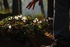 Il ciclamino rosa fiorisce nella foresta con luce posteriore e una mano indicante Fotografia Stock