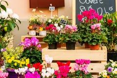 Il ciclamino variopinto fiorisce in vasi nel negozio di fiore Fotografie Stock
