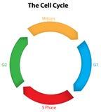 Il ciclo cellulare Fotografie Stock