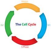Il ciclo cellulare Immagine Stock Libera da Diritti