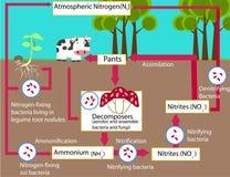 Il ciclo di azoto Fotografie Stock