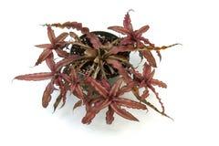 Il ciclo di vita di una pianta di Crypthanthus Fotografie Stock Libere da Diritti