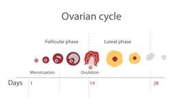 Il ciclo mestruale Fotografia Stock