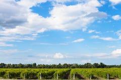 Il cielo blu con bianco si rannuvola le vigne, Taman Fotografia Stock Libera da Diritti