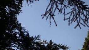 il cielo blu visto attraverso la corona di un certo ` s del pino video d archivio