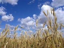 Il cielo sopra il giacimento di grano fotografia stock