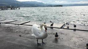 Il cigno andante con le anatre sul lago puntella video d archivio