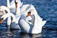 Il cigno bianco fotografia stock libera da diritti