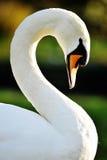 Il cigno bianco Fotografia Stock
