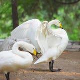 Il cigno bianco apre l'ala Immagine Stock