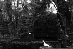 Il cigno bianco del lago del cigno Fotografie Stock Libere da Diritti