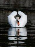 Il cigno bianco galleggia in uno stagno Immagine Stock